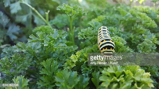 Close-up of caterpillar on parsley