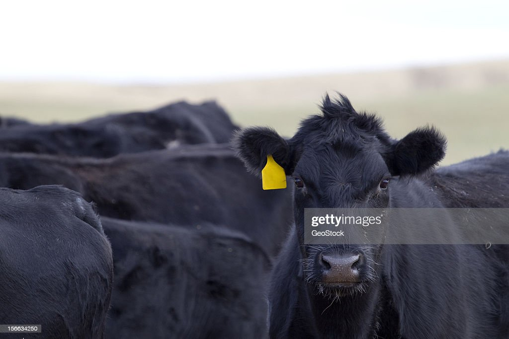 Close-up of cattle : Stock Photo