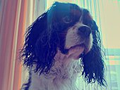 Close-Up Of Cavalier King Charles Spaniel At Home