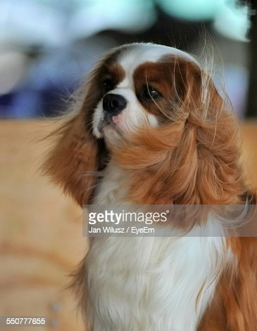 Close-Up Of Cavalier King Charles Spaniel Looking Away