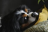 Close-Up Of Cavalier King Charles Spaniel Lying On Cushion At Home