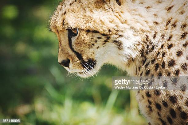 Close-Up Of Cheetah In Forest