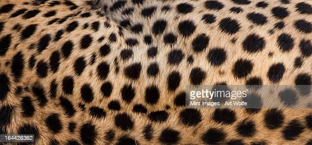 Close-up of cheetah spots on the animal's hide in Serengeti National Park, Tanzania
