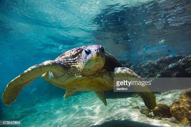 Close-up of Chelonia mydas green sea turtle in Hikkawdua