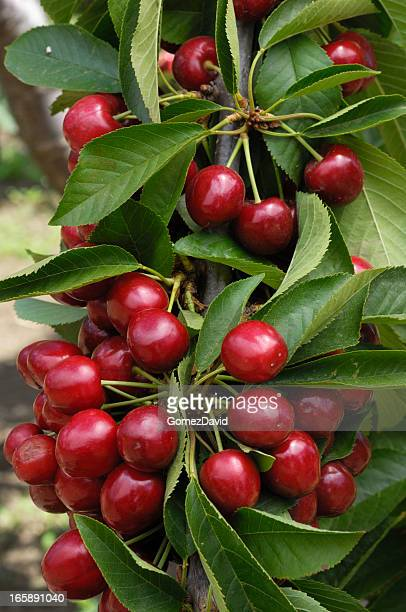 Close-up of cherries on a cherry tree