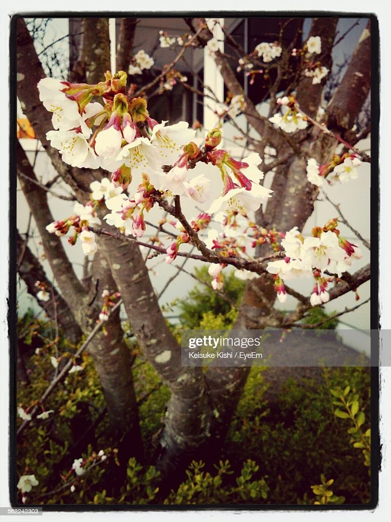Close-Up Of Cherry Blossom Blooming On Tree