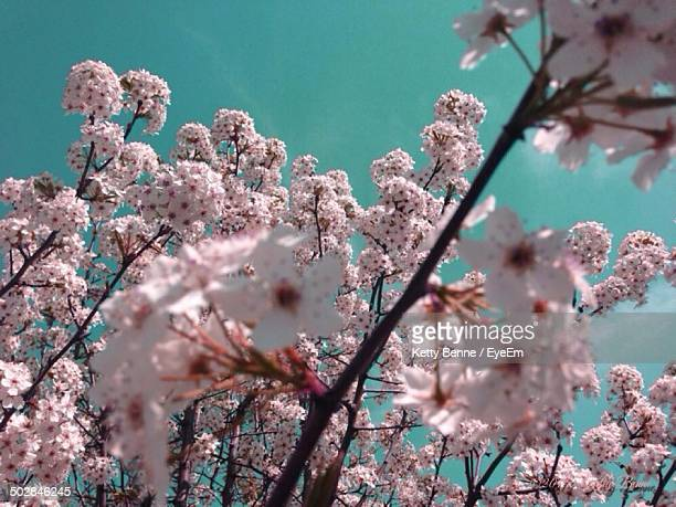 Close-up of cherry blossom tree against clear sky