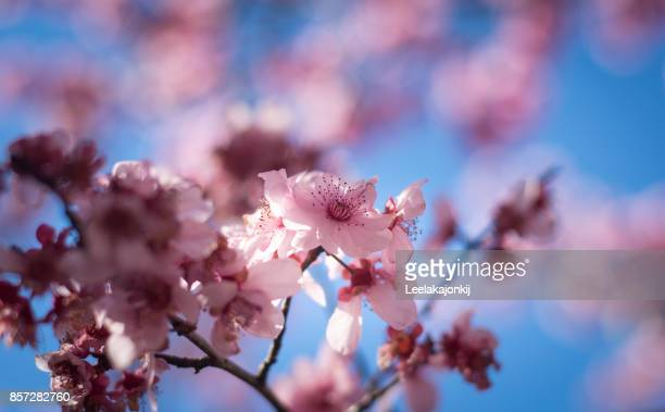 Close-Up Of Cherry Blossoms Blooming