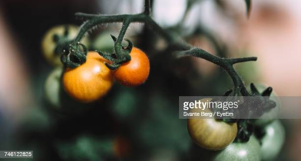 Close-Up Of Cherry Tomatoes On Plant