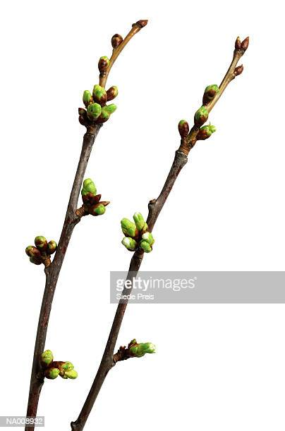 Close-Up of Cherry Tree Buds