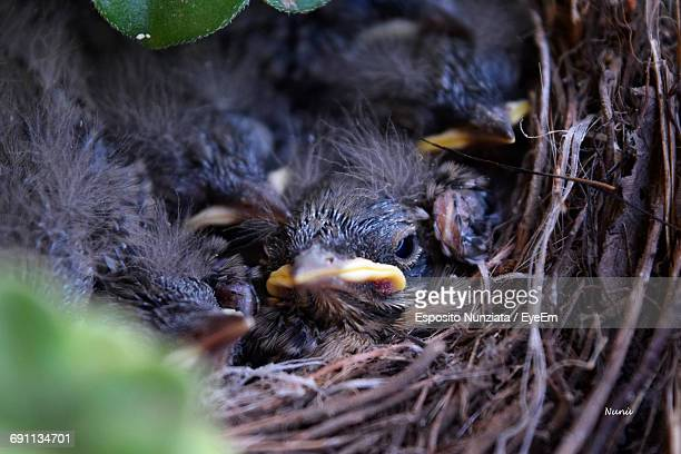Close-Up Of Chicks In Nest