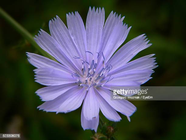 Close-Up Of Chicory