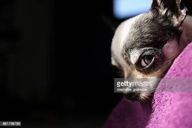 Close-up of Chihuahua dog