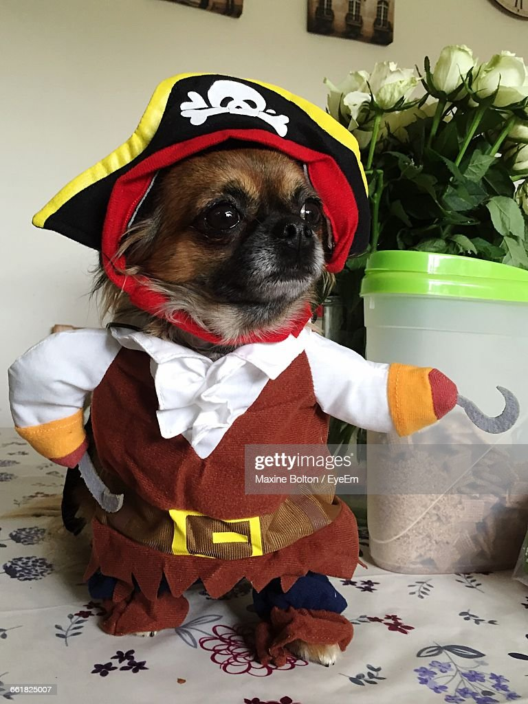 Close-Up Of Chihuahua In Costume On Table