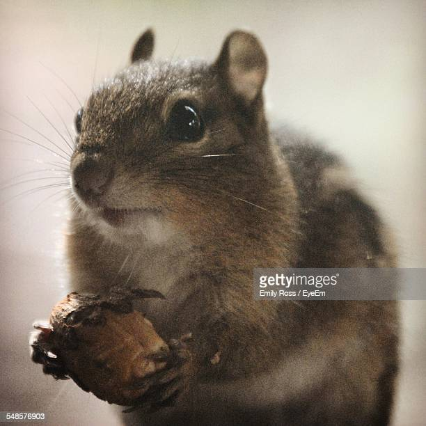 Close-Up Of Chipmunk Holding Acorn
