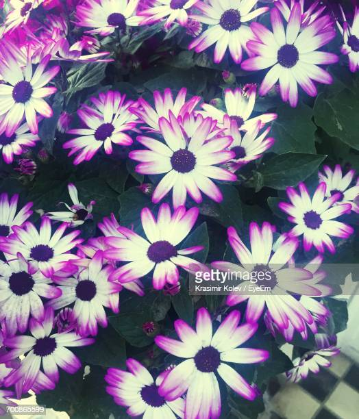 Close-Up Of Cineraria Flowers