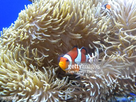 Close-Up Of Clown Fish Swimming Amidst Coral In Sea