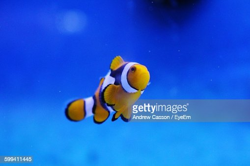 Close-Up Of Clown Fish Swimming In Aquarium