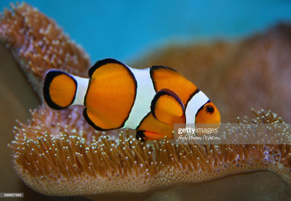 Close-Up Of Clownfish Swimming In Sea