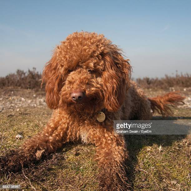 Close-Up Of Cockapoo Relaxing On Grassy Field