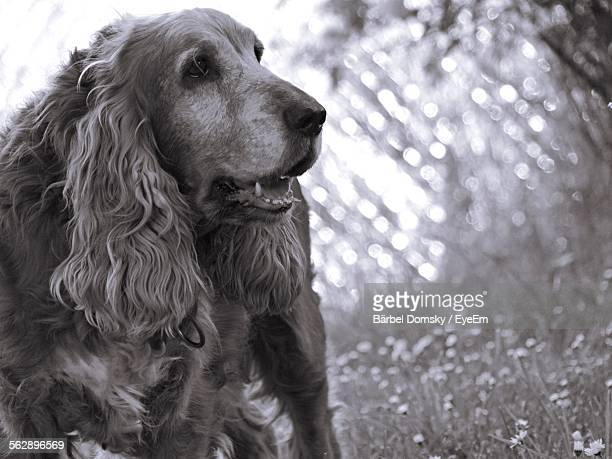 Close-Up Of Cocker Spaniel On Field