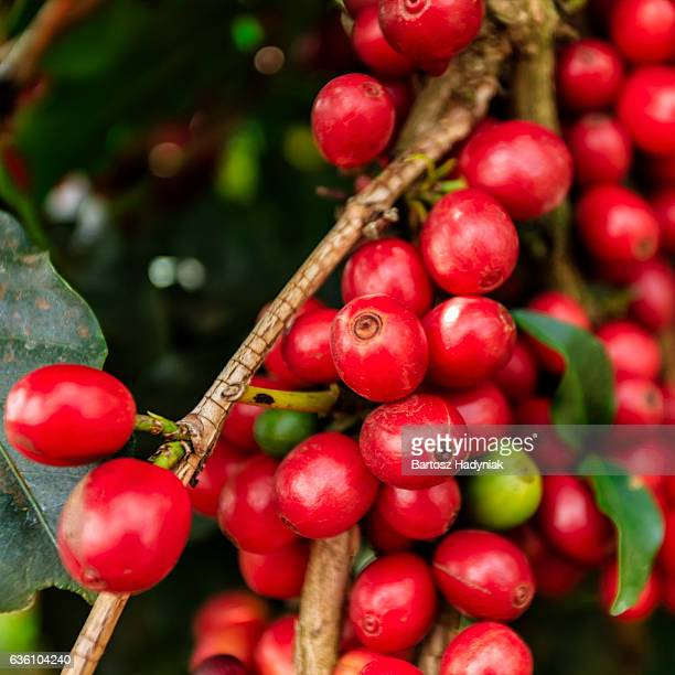 Close-up of coffee cherries on Kenyan plantation, East Africa