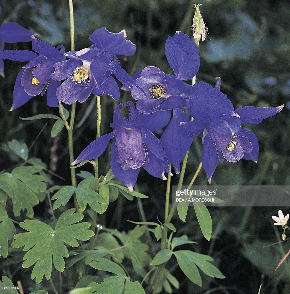 Columbine Flowers Stock Images, Royalty-Free Images & Vectors ...
