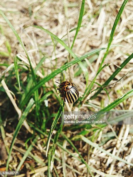 Close-Up Of Colorado Potato Beetle On Grass