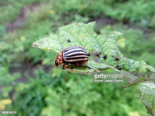 Close-Up Of Colorado Potato Beetle On Leaf