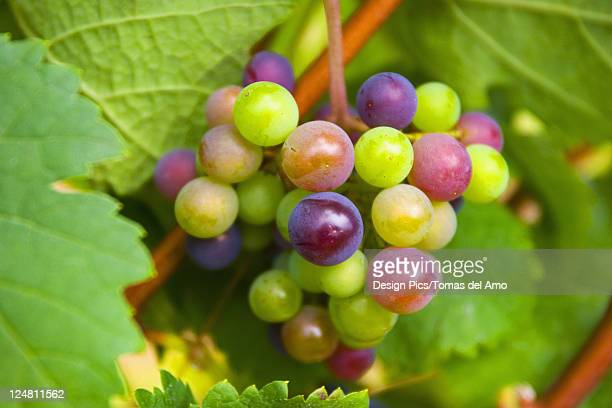 Close-up of colorful green, red and purple grapes growing on the vine.