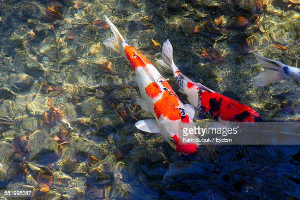 Koi carp stock photos and pictures getty images for Colourful koi fish