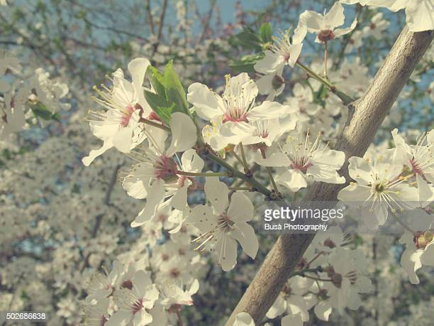 Closeup of color-manipulated white blossoms on a tree branch in a park in Berlin, Germany