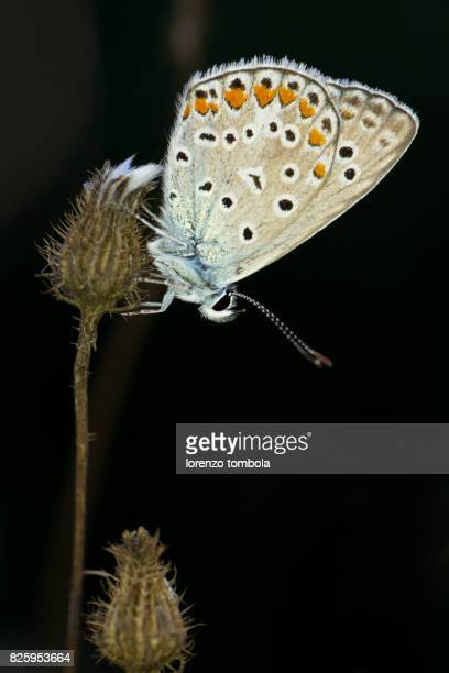 Close-Up of Common Blue Butterfly (Polyommatus Icarus)