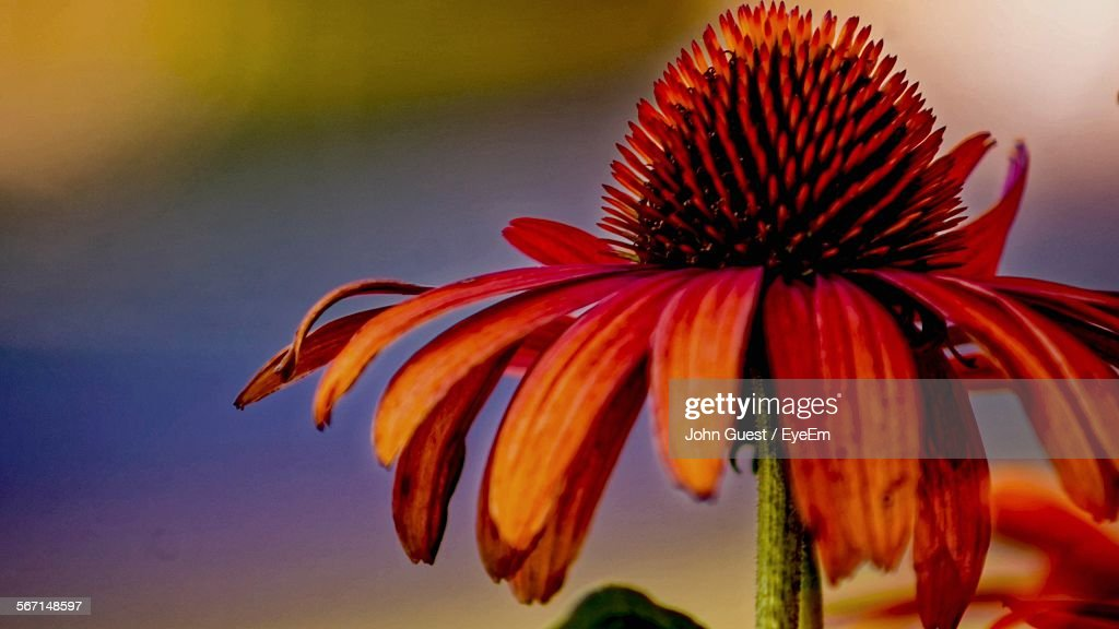 Close-Up Of Coneflower Blooming Outdoors