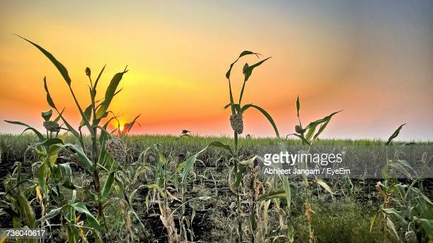 Close-Up Of Corn Field Against Clear Sky