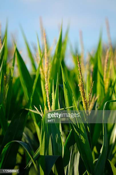 Close-up of corn stalk in bloom in a sunny corn field