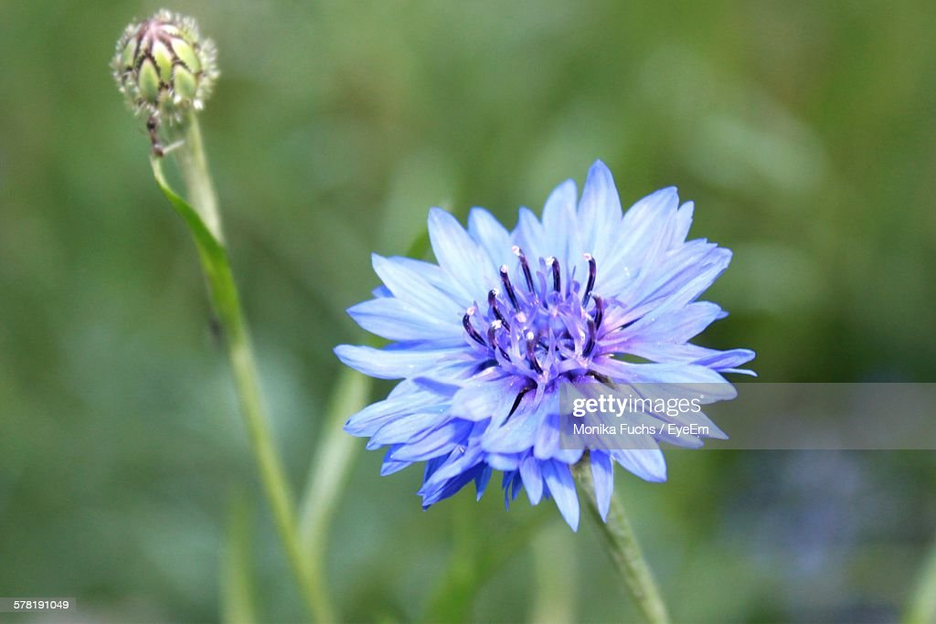 Close-Up Of Cornflower Blooming In Park