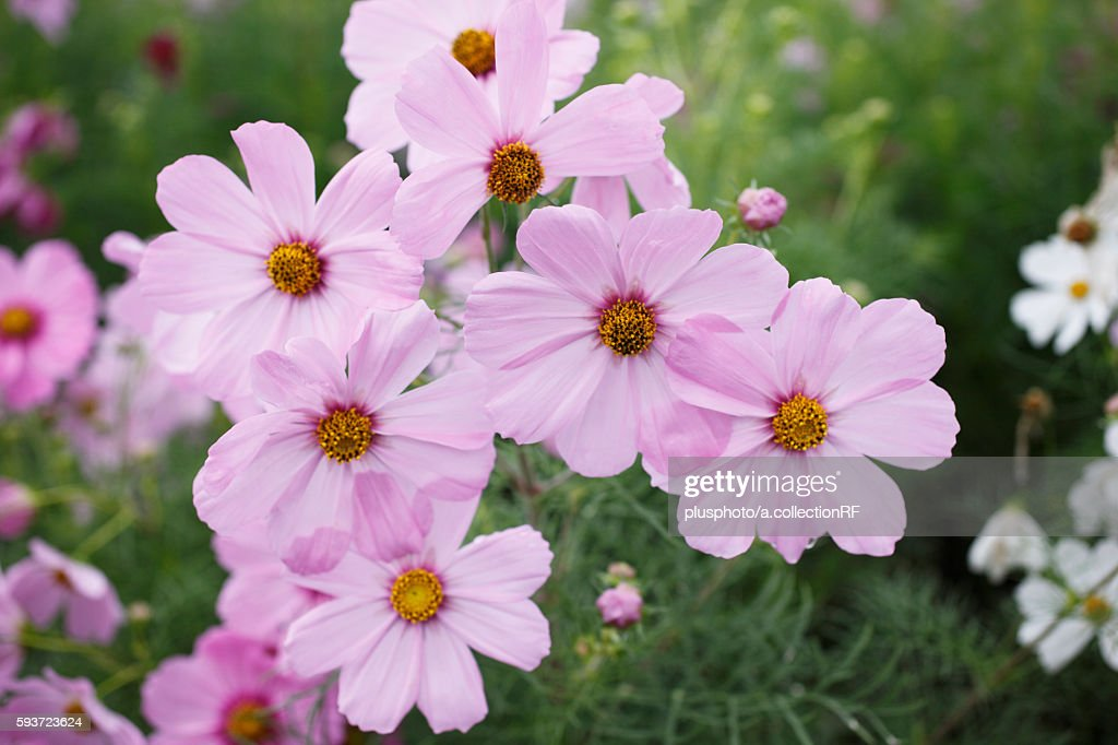 Close-up of cosmos flowers
