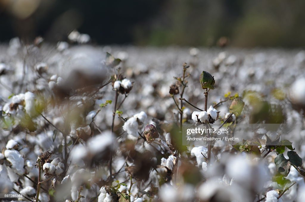 Closeup Of Cotton Plants Growing On Field Stock Photo Getty Images