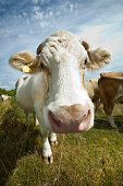 Close-up of cow in pasture against blue sky