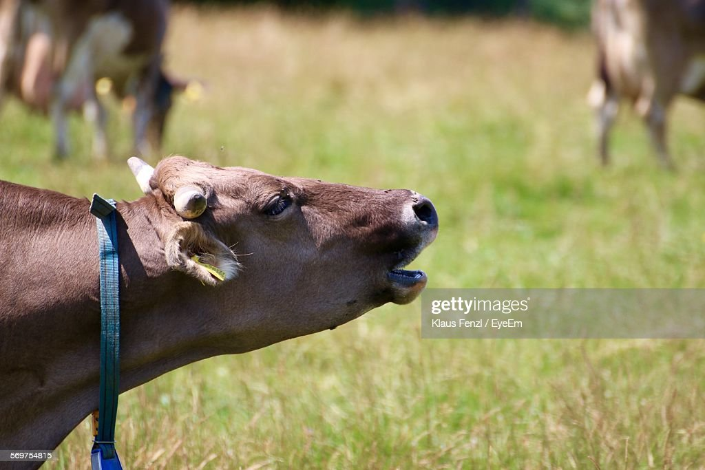 Close-Up Of Cow Mooing On Grassy Field