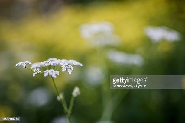 Close-Up Of Cow Parsnip Plant Growing On Field