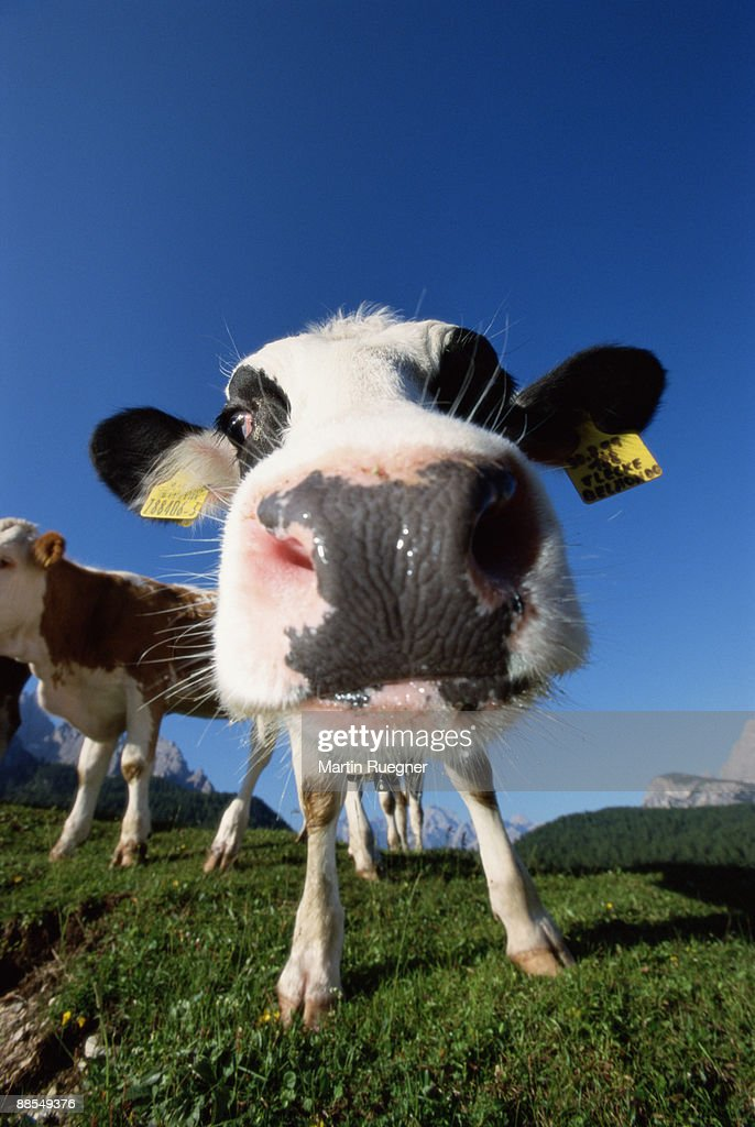 Close-up of cow's nose : Stock Photo