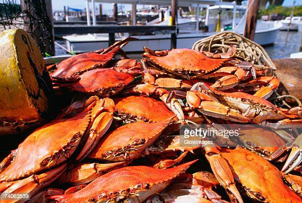 Close-up of crabs, Annapolis, Maryland, USA