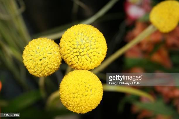 Close-up of craspedia billy balls