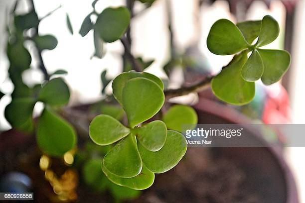 Close-up of Crassula Ovata/Jade Plant