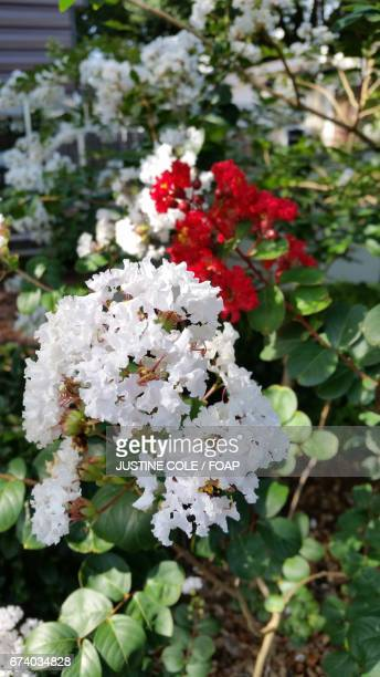 Close-up of crepe myrtle flowers