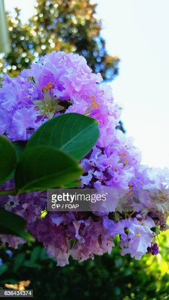 Close-up of crepe myrtle tree