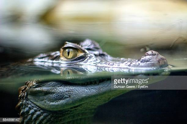 Close-Up Of Crocodile In Forest