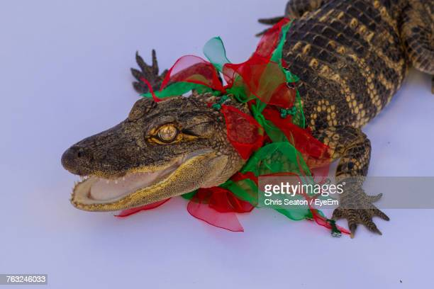 Close-Up Of Crocodile In Ribbon On Snow